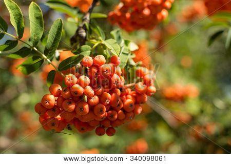 Rowanberry On The Tree.