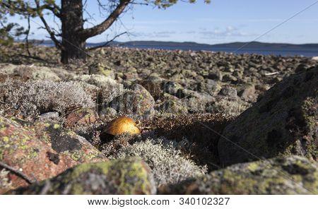 Closeup On A Penny Bun, Cep, Porcino Or Porcini. Fungus In Its Habitats.