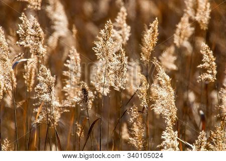 Common Reed, Dry Reeds (phragmites Australis) Reed Background