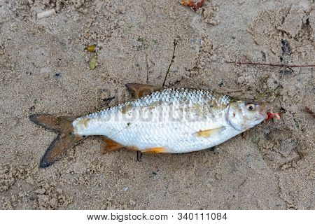 Close Up Freshly Caught Common Roach Or Rutilus Heckelii On Wet Sand