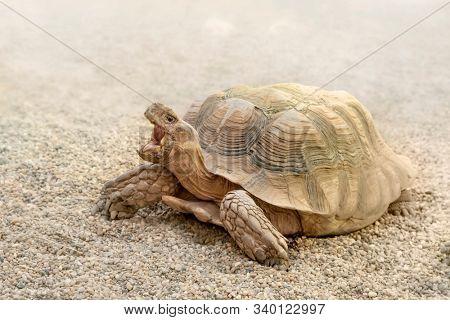 Desert turtle traverses the desert sands of its natural environment. Centrochelys sulcata