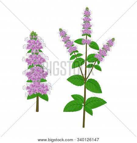 Mentha Healing Flower Vector Medical Illustration Isolated On White Background In Flat Design, Infog