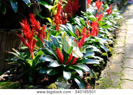 Bromeliad Plant Growing In Garden