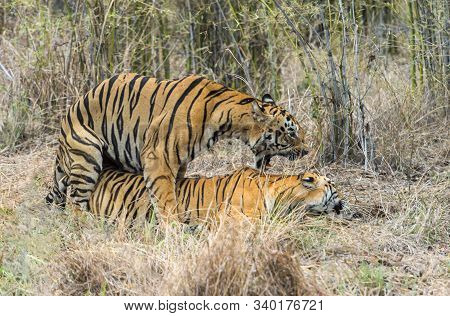 Tiger Gabbar And Maya Mating, Panthera Tigris At Tadoba In Maharashtra, India