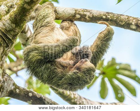A Brown Throated 3 Toed Sloth Hanging I A Tree With A Baby In Costa Rice Rainforest National Park