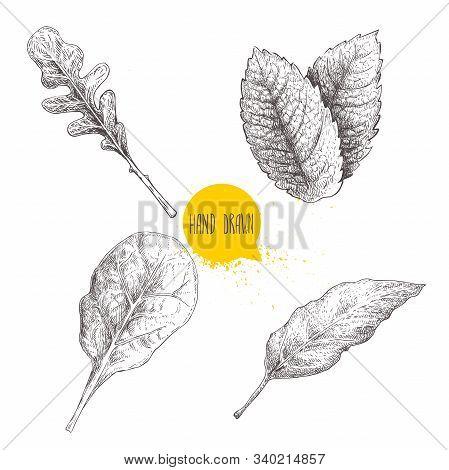Herbs Sketch Set. Arugula, Mint Leaves, Basil And Bay Leaf. Hand Drawn Vector Illustrations. Retro S