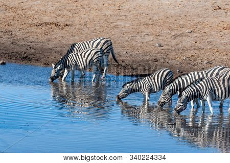A Burchells Plains zebra -Equus quagga burchelli- drinking from a waterhole in Etosha National Park, Namibia. poster
