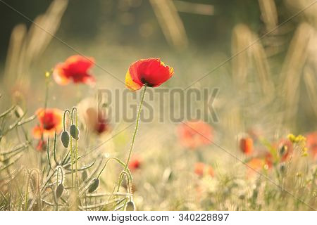 Poppy spring Nature flower meadow Nature flower Poppies Nature background Flower Nature background flower Nature background Nature flower Nature flower Nature sunset sun Nature background flower sunrise flower Nature flower Nature flower background Nature