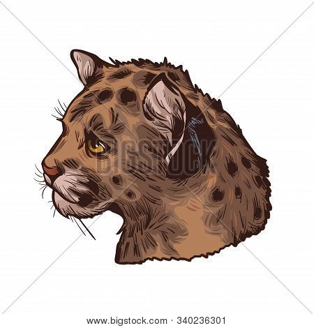 Cougar Baby Tabby, Large Felid Isoated Wildlife Cat Sketch. Vector Illustration Of Mountain Lion, Pu