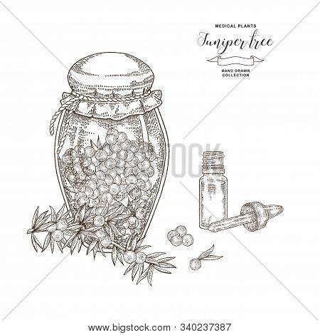 Juniper Tree Branch. Berries Of Juniper In Glass Jar. Hand Drawn Medical Plants. Vector Illustration