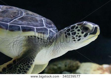 Wild Sea Turtle Swimming In The Ocean