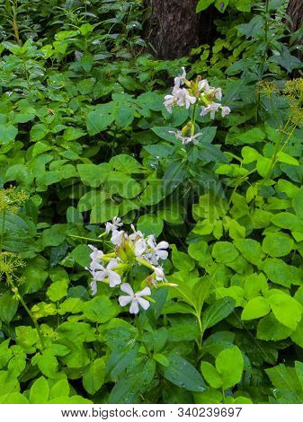White Mylnianka, A Five-petalled Wildflower, Is A Herbaceous, Perennial, Dioecious, Flowering, Shrub