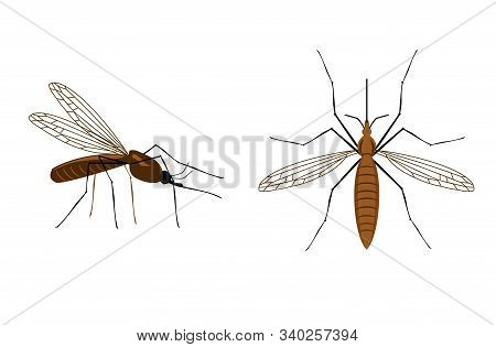Vector Mosquito Close Up And Top Side View Isolated On White Background. Realistic Tropical Fever Zi