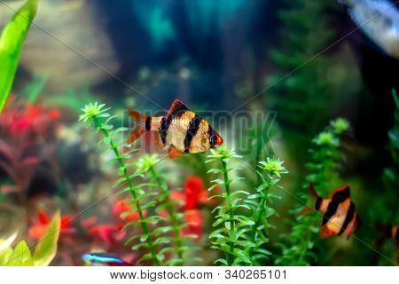 Tiger Barbs Or Sumatra Barbs (puntius Tetrazona) In A Home Decorative Aquarium - Bright Tropical Fis