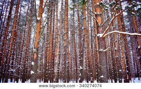 Sunset In Winter Forest Snow Pine Fir Tree. Cold Weather In Winter Scenic Fir Tree Pine Forest. Wint