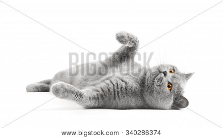 Satisfied British Cat Lies On A White Background With A Raised Paw. Cat Bastard On Isolation. A Cat