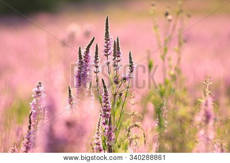 Loosestrife flower sunset Nature meadow Nature sunrise flower Nature background Nature flower Nature background Nature flower Nature flowers Nature flower background sun Nature flower Nature background flower Nature landscape wildflower Nature background.