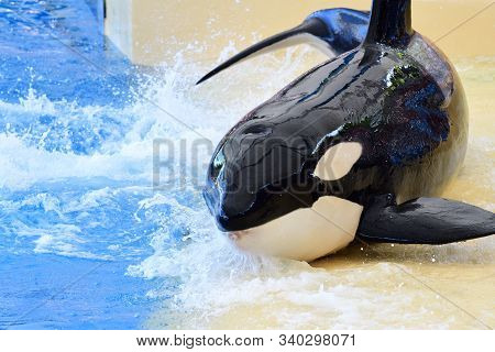 Portrait Of A Killer Whale (orcinus Orca) Out Of The Water By The Waters Edge During A Whale Show
