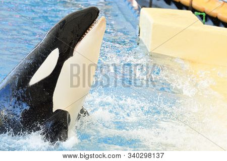 Close Up Of A Killer Whale (orcinus Orca) Performing In A Whale Show