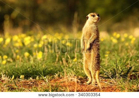 Meerkat (suricata Suricatta) Timon In Kalahari Desert Staying On Red Sand Close To Burrow Watching A