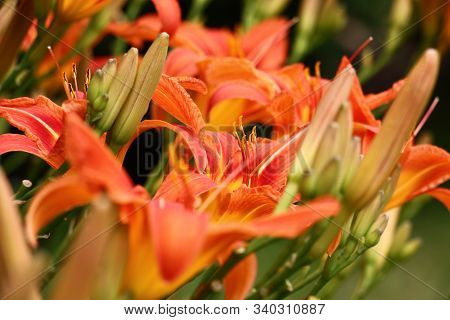 A Large Amount Of Flowers Of A Wild-growing Hemerocallis Created A Bright Color Spot.