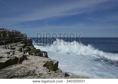 Imperial Shag (phalacrocorax Atriceps Albiventer) On The Cliffs Of Sea Lion Island In The Falkland I