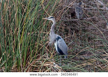 Great Blue Heron Roosts In Vegetation With Neck Stretched To Full Length While Keeping An Alert Eye