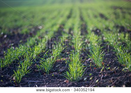 Young Green Wheat Growing In Soil. Agricultural Proces. Field Of Young Wheat Seedlings Growing In Au