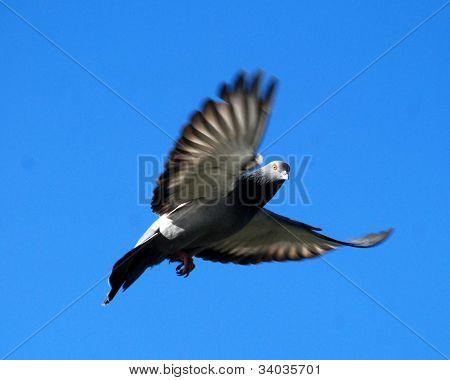 Pigeon In Flight Returns Gaze