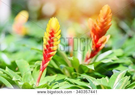 Bromeliad Flower / Beautiful Red And Yellow Bromeliad In Garden Nursery On Green Plant Background In