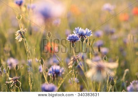 Purple Cornflower flowers field dusk sunset sunrise sun Nature background vibrant color Nature background Nature background spring meadow macro close-up flowers Nature background wildflowers flowers Nature background cornflowers outdoor Nature background.