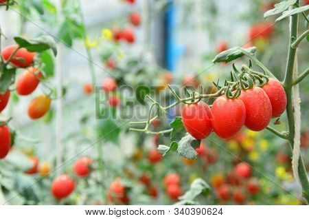 Branches Of Red Fresh Organic Tomato Farming In Green House, Agriculture, Food And Health Concept, S