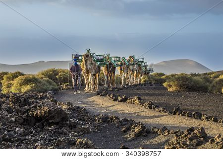 Yaiza, Spain - Mar 14, 2017: Camel Driver Guides The Camel Caravan Through The Volcanic Area Of Tima