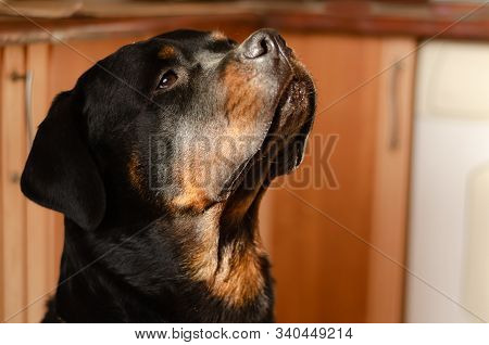 Portrait Of An Adult Handsome Rottweiler. The Male Rottweiler Obediently Sits In The Kitchen And Loo