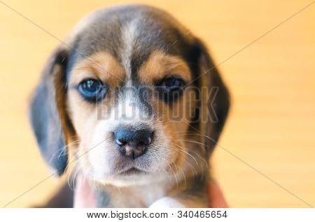 A Cute Beagle Puppy Head Close Up