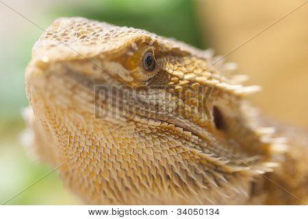 Face on bearded dragon