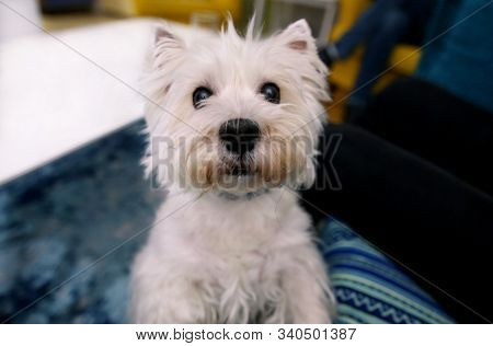Dog Photo Shoot At Home. Pet Portrait Of Cute West Highland White Terrier Dog Enjoying And Resting I