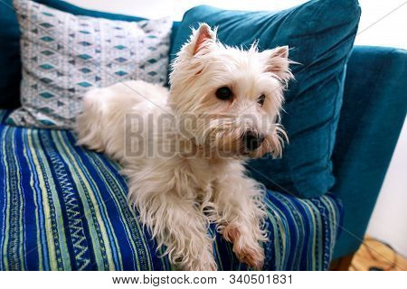 Dog Photo Shoot At Home. Pet Portrait Of West Highland White Terrier Dog Lying And Sitting On Bed An