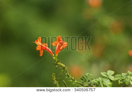 Gardening Concept. Beautiful Flowers Tecomaria Capensis With Dewdrops On Green Branch Over Green Blu