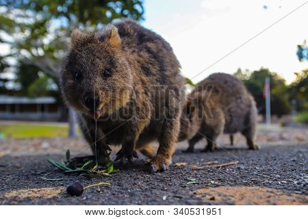 Two Quokkas Eating And Drooling On The Road