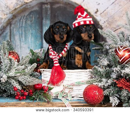 christmas dachshunds, christmas dog in a hat and scarf,  year dachshund