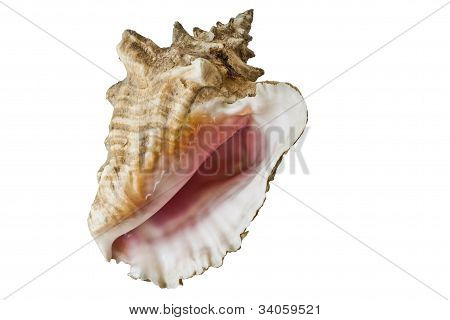 Conch Shell Isolated