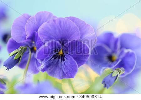 Spring Pansy Flowers. Purple Pansies On A Light Blue Background.floral Tender Spring Background