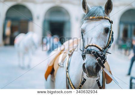Portrait Of The World Famous Lipizzaner Stallion Legendary White Stallions Horse Before Show. Spanis