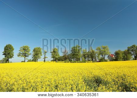 Trees in Blooming oilseed field, spring landscape