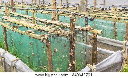Helix Aspersa Muller, Maxima Snail, Organic Farming, Snail Farming, Production Of Snails. Snail Farm