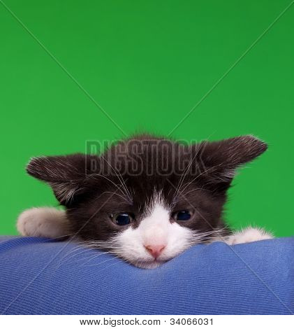 Cute Gremlin Cat Isolated on Green Chroma Key Background