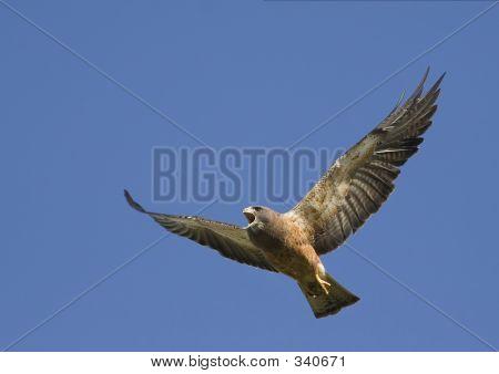 Angry Swainsons Hawk