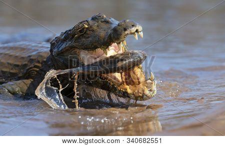 Close Up Of A Yacare Caiman (caiman Yacare) Eating Piranha, South Pantanal, Brazil.