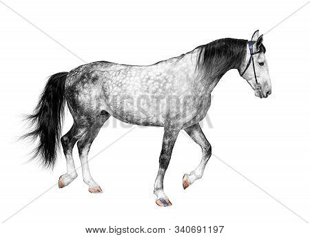 Young Frisky Stallion Gray White Color, Horse Standing On A White Background